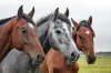 Kloubní výživa Alavis pro koně