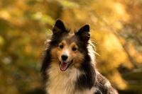 Pes kašle, může to být psincový kašel?